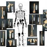 skelet_tombe_amphipolis