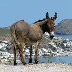 Griekse_ezel