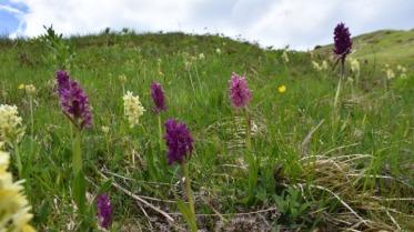 Wilde orchideeën van Pindos